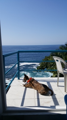 Porkchop watching pelicans and iguanas from the balcony.